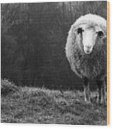 Wondering Sheep Wood Print