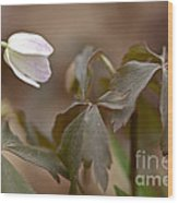 Wood Anemone Wildflower - Anemone Quinquefolia L.  Wood Print