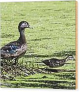Wood Duck And Baby Wood Print