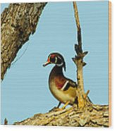 Wood Duck Drake In Tree Wood Print