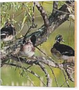 Wood Duck Drakes In Tree Wood Print