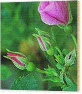 Wood Rose Buds Rosa Woodsii Wild Wood Print