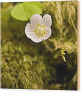 Wood Sorrel Wood Print