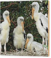 Wood Stork Young In Nest Wood Print