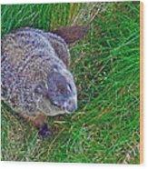 Woodchuck In Salmonier Nature Park-nl Wood Print