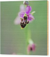 Woodcock Orchid (ophrys Scolopax) Wood Print