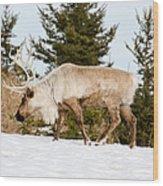 Woodland Caribou Wood Print