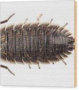 Woodlouse Species Porcellio Wagnerii Wood Print