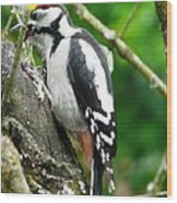 Woodpecker Swallowing A Cherry  Wood Print