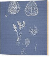 Woodsia Lanosa Wood Print by Aged Pixel
