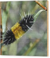 Woolly Worm In Yellowstone National Park Wood Print