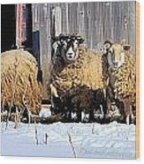 Wooly Sheep In Winter Wood Print