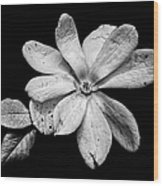 Wounded White Magnolia Wide Version Black And White Wood Print
