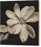 Wounded White Magnolia Wide Version Sepia Wood Print