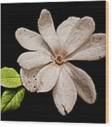 Wounded White Magnolia Wide Version Wood Print