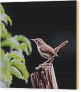 Wren - Carolina Wren - Bird Wood Print