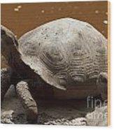 yawning juvenile Galapagos Giant Tortoise Wood Print
