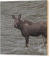 Yearling Moose In The Shoshone River   #1284 Wood Print