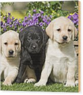 Yellow And Black Labrador Puppies Wood Print