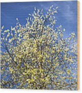 Yellow And Blue - Blooming Tree In Spring Wood Print