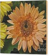 Yellow And Peach Daisy Wood Print