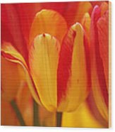 Yellow And Red Striped Tulips Wood Print