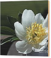 Yellow And White Peony Flower Wood Print