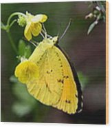 Yellow And Yellow Sulphur Butterfly Wood Print