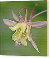 Yellow Aquilegia Bloom Wood Print