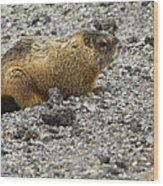Yellow-bellied Marmot   #5187 Wood Print