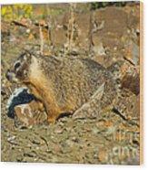 Yellow-bellied Marmot Wood Print