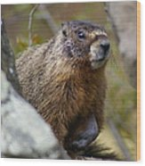 Yellow-bellied Marmot Wood Print