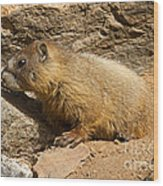Yellow Bellied Marmot Checking Out The Neighborhood In Rocky Mountain National Park Wood Print