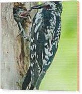 Yellow-bellied Sapsucker Feeding Wood Print
