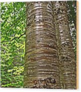 Yellow Birch Near La Chute In Forillon Np-qc Wood Print
