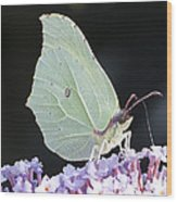 Yellow Brimstone Wood Print