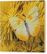 Yellow Butterfly On Yellow Mums Wood Print