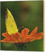 Yellow Cabbage Moth Wood Print