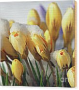 Yellow Crocuses In The Snow Wood Print