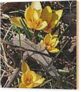 Yellow Crocuses Wood Print