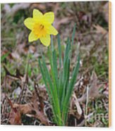 Yellow Daffodil At Lee Gardens Wood Print