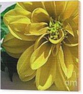 Yellow Dahlia Closeup Wood Print