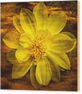 Yellow Dahlia Under Water Wood Print