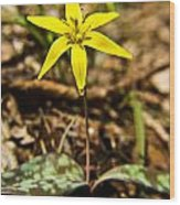 Yellow Dogtooth Trout Lilly Wood Print