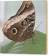 Yellow-edged Giant Owl Butterfly #3 Wood Print