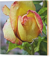 Yellow Edged In Pink Rose Wood Print