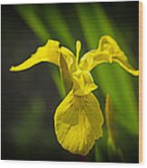 Yellow Flag Flower Outdoors Wood Print