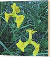 Yellow Flag Iris Wood Print