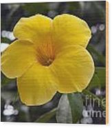 Yellow Flower Of Golden Trumpet Vine Wood Print