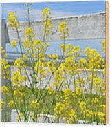 Yellow Flowers And A White Fence Wood Print